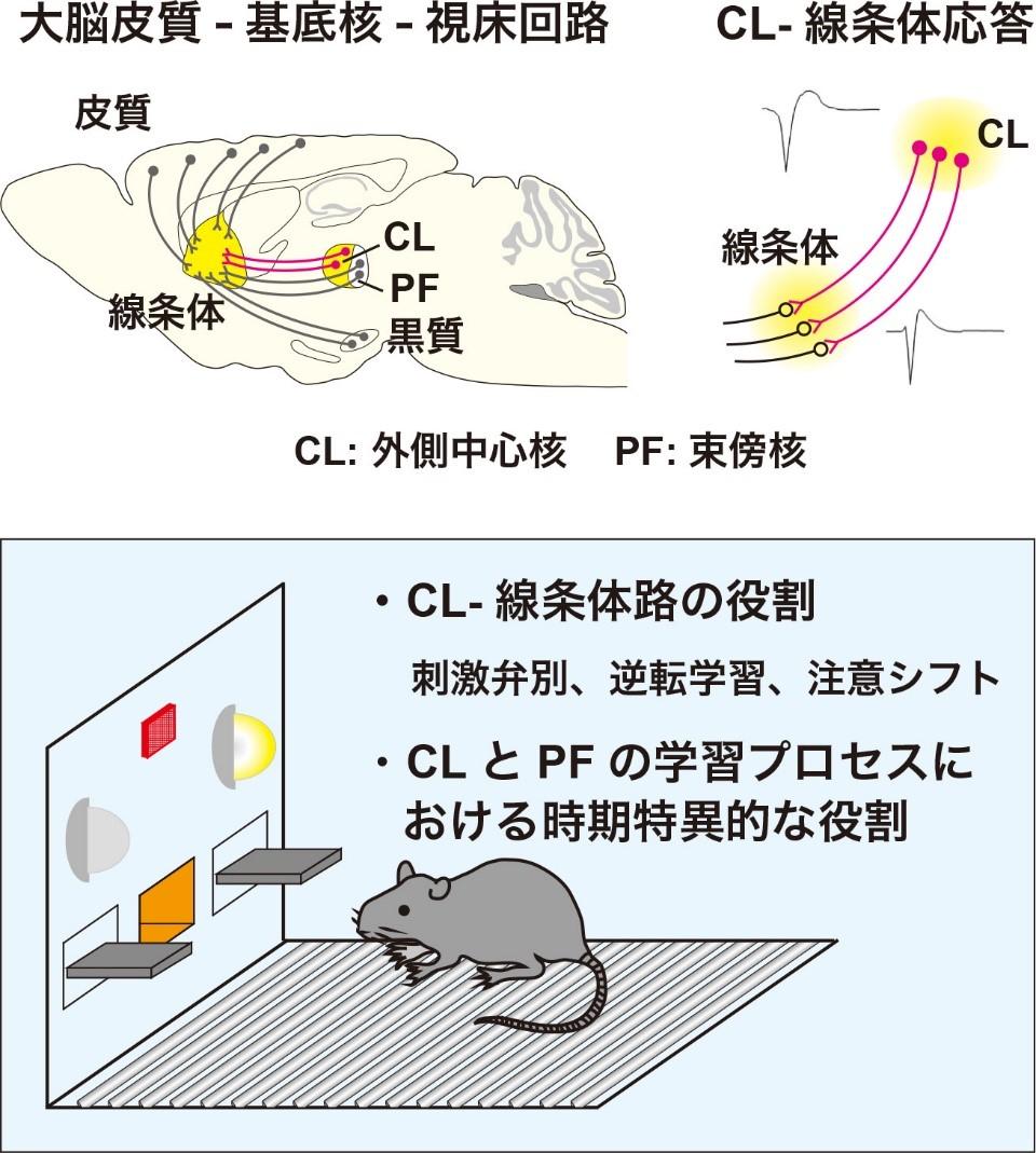 図: 視床線条体路による行動の選択と柔軟性な切り替えの制御