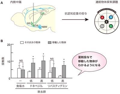【図4】抗認知症薬を投与すると、連続探索課題における内側中隔アセチルコリン細胞を除去したマウスの空間認識に関する記憶障害が回復する A: 抗認知症薬投与と連続物体探索課題実施の流れ:マウスの内側中隔アセチルコリン神経細胞を除去した後、腹腔内にドネペジル(低濃度: 2μmol/kg、高濃度: 4μmol/kg)とリバスチグミン(低濃度: 2μmol/kg、高濃度: 4μmol/kg)、または生理食塩水を投与し、連続物体探索課題を行いました。 B: 薬剤投与による空間認識に関する記憶障害からの回復:内側中隔にあるアセチルコリン神経細胞を除去したマウスに生理食塩水を投与しても、移動した物体への探索量が増加しませんでした。しかし、ドネペジルやリバスチグミンを投与すると、除去マウスが移動していない物体よりも移動した物体に頻繁に近づいて探索するようになりました。これは、内側中隔のアセチルコリン細胞の損傷によって空間に関する再認記憶が障害されていたのにも関わらず、アセチルコリン分解酵素の阻害薬である抗認知症薬の投与によって、その記憶機能が回復し、空間テストで移動された物体がどれであったかがわかるようになったということです。