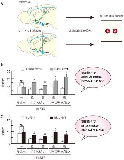 【図5】抗認知症薬を投与すると、単回探索課題において、内側中隔細胞除去による空間認識に関する記憶障害およびマイネルト基底核細胞除去による物体認識に関する記憶障害が回復する A: 抗認知症薬投与と単回物体探索課題実施の流れ:マウスの内側中隔アセチルコリン神経細胞とマイネルト基底核アセチルコリン神経細胞をそれぞれを除去した後、腹腔内にドネペジル(低濃度: 2μmol/kg、高濃度: 4μmol/kg)とリバスチグミン(低濃度: 2μmol/kg、高濃度: 4μmol/kg)、または生理食塩水を投与し、単回物体探索課題を行いました。 B: 薬剤投与による空間認識に関する記憶障害の回復:空間テストにおいて、内側中隔にあるアセチルコリン神経細胞を除去したマウスは、生理食塩水を腹腔内投与されても、移動した物体の探索を増加させることはありませんでした。しかし、抗認知症薬を投与すると、移動した物体のみに頻繁に近づいて探索しました。これは、内側中隔のアセチルコリン細胞の欠落によって障害された空間に関する再認記憶機能が、抗認知症薬の投与によって回復し、空間テストで移動された物体がどれであるのかをマウスがわかるようになったということを意味します。 C:薬剤投与による物体認識に関する記憶障害の回復: 物体テストにおいて、マイネルト基底核にあるアセチルコリン神経細胞を除去したマウスは、生理食塩水投与下では、新奇な物体の探索が頻繁ではありませんでした。しかし、抗認知症薬を投与すると、除去マウスは、正常群群と同様に、新奇な物体を頻繁に探索するようになりました。これは、マイネルト基底核の欠落によって、物体そのものに関する再認記憶が障害されたにもかかわらず、抗認知症薬を投与することで、この再認記憶障害から回復し、一度見たことがある物体がどれであるかがわかるようになったということを示しています。